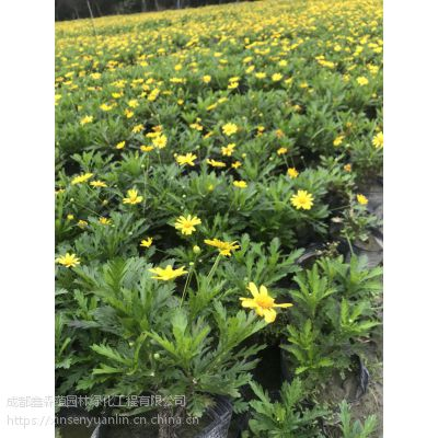 大量出售木春菊 木春菊种植基地 哪里的木春菊好