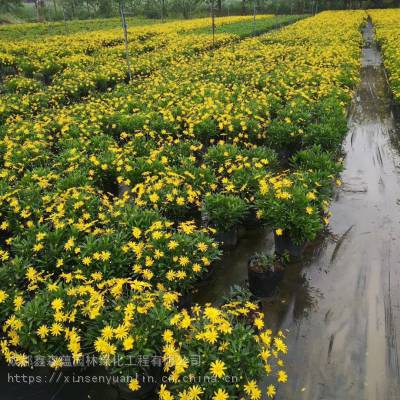 重庆木春菊批发基地在哪里 木春菊工程苗的价格是好多呢 小苗