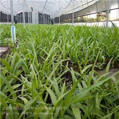湖南湘西野三七怎么种植 竹节参供应求购 竹节参栽培方法