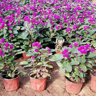 国庆节绿化用大杯花卉品种有哪些,双色盆时令花卉品种
