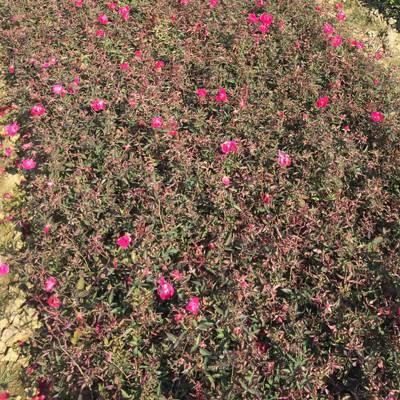 供应 小花月季 红色系蔷薇 庭院绿化用的花卉苗木 苗圃价格优惠