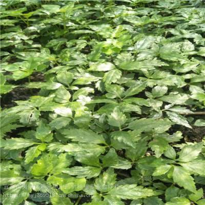 宜宾珙县野三七如何种植 竹节参基地批发采购 竹节参的价格