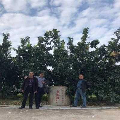 平和八公分红皮红心蜜柚果树苗培育基地