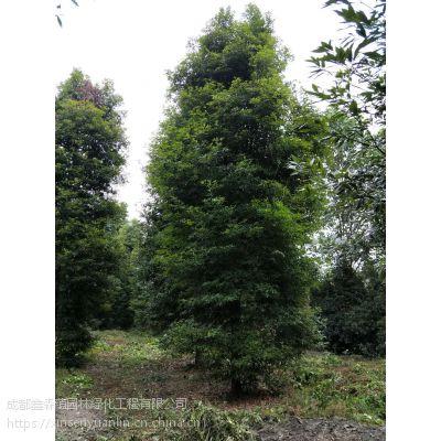 供应正宗金丝楠木 成都楠木大量出售 10公分工程苗价格360元