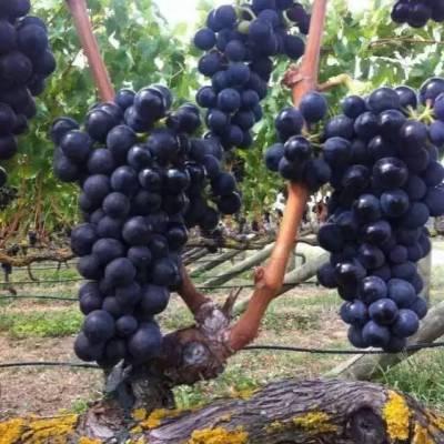 娄底红酒-加诺葡萄酒-我想代理红酒