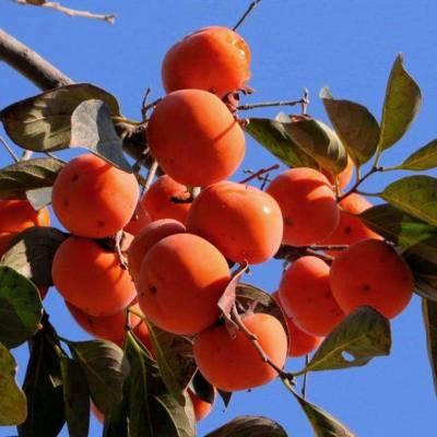 柿子树苗价格 阳丰甜柿树苗哪里有卖 基地直销