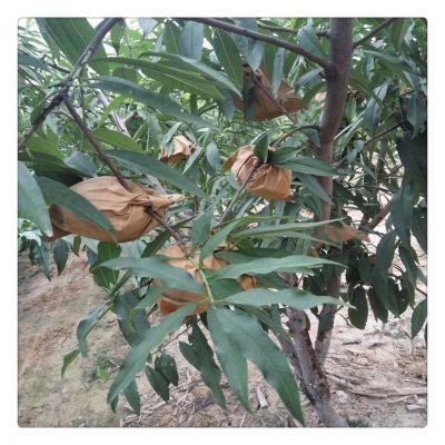 山东泰安一年苹果苗 维纳斯黄金苹果苗货源地 2米红富士苹果苗 鲁丽苹果苗哪里有卖