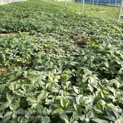 黔东从江野三七栽培方法 竹节参基地批发采购 竹节参种植经验