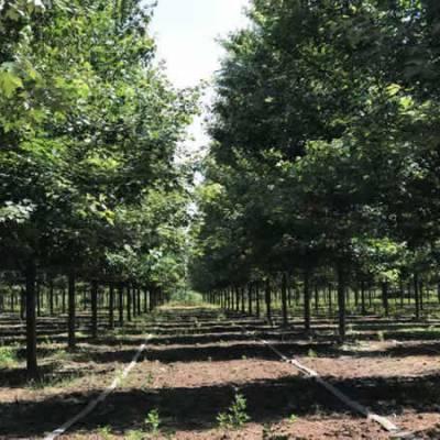 16公分美国红枫-丽枫园林-米径16公分美国红枫市场价格