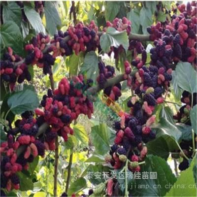 黄桃桃树苗哪里有卖的 定植两年的黄桃桃树苗哪里有卖的