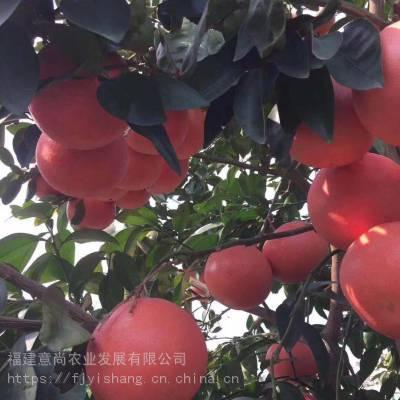 台湾甜葡萄柚苗 甜葡萄柚苗 台湾甜葡萄柚苗批发柚子苗