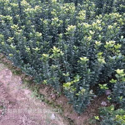 苗圃冬青球 大叶黄杨球小苗 床苗 工程苗价格