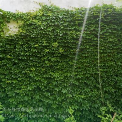 陕西爬山虎 苗圃现挖包成活 园林护坡墙体绿化爬山虎苗木