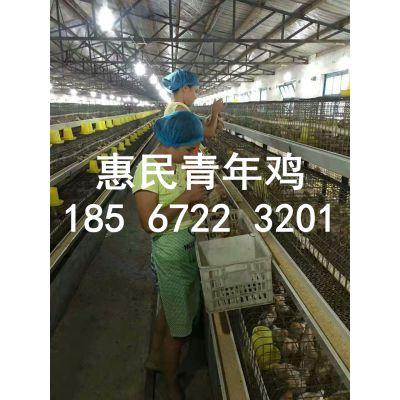 海兰褐青年鸡管理 60天海兰褐粉青年鸡管理技术