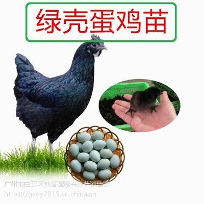 绿壳蛋鸡种苗,绿壳蛋鸡养殖方法