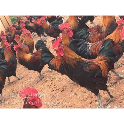 甘肃嘉峪关养殖出壳鸡苗哪里有鸡苗卖?,优质鸡苗,可空运发货,价格从优