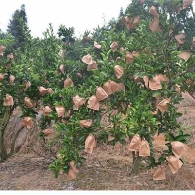 哪里有正宗红心葡萄柚苗价格