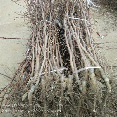 滨州沾化冬枣枣树苗 林源枣树苗供应 嫁接1公分枣树苗价格