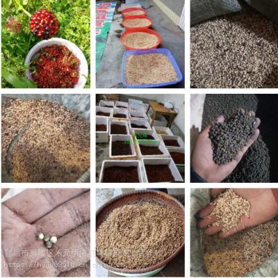 禾元甲贵州六盘水竹节参种植 野三七种植药材赚钱