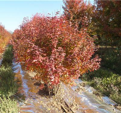 专业种植丛生美国红基地-丛生美国红枫-金枫绿化(查看)