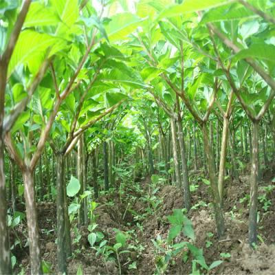 魔芋种子消毒 云南华宁魔芋种子消毒 贵州剑河魔芋种植基地 基地培育 放心购买