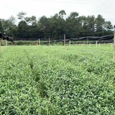 鄂州市巴渝特早茶苗-批发商一年生茶苗
