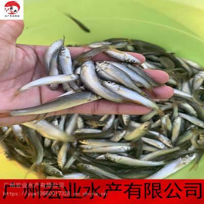 2020宏业热销银鳕鱼苗 大鳞鲃银鳕鱼苗规格 银鳕鱼收购 批发出售