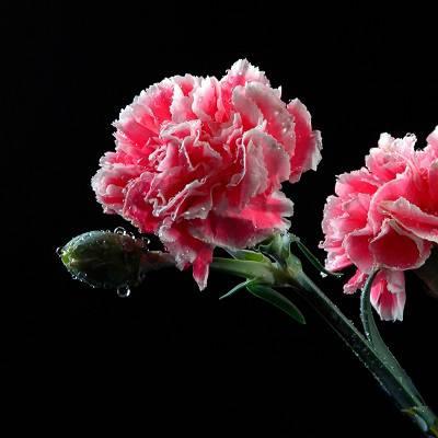 康乃馨提取物 康乃馨多肽 康乃馨提取液 康乃馨粉 康乃馨浸膏