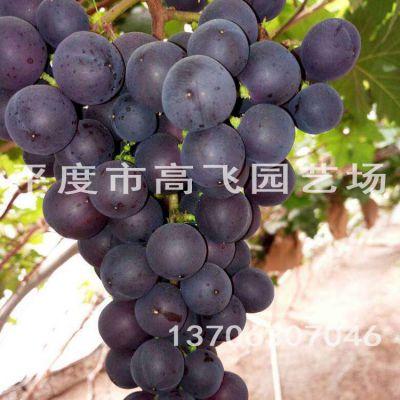 早霞玫瑰葡萄苗 葡萄苗种植基地 早熟品种