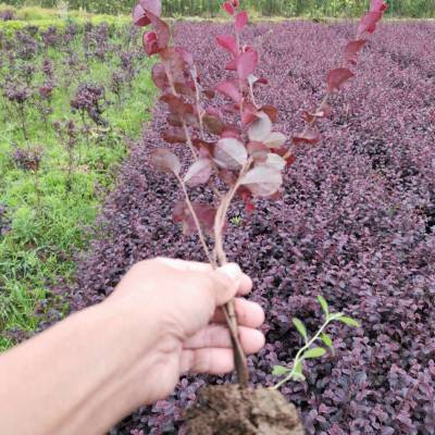 供应红继木 红梽木 红花檵木园林绿化用色块小苗木 郴州苗圃报价