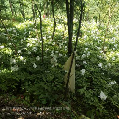 黑龙江伊春天麻密环菌竹节参市场前景野生和家种的区别
