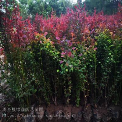 陕西红叶小檗、周至红叶小檗工程绿篱绿化苗木批发