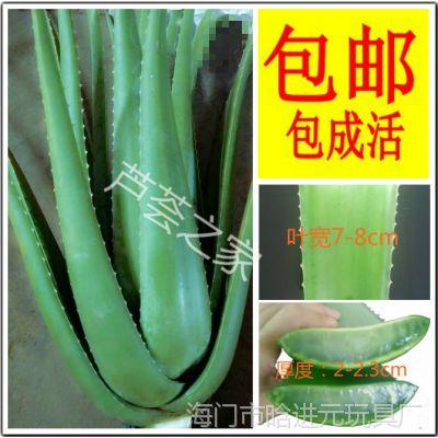 美国库拉索大包盆栽绿植新鲜多肉叶食用美容超芦荟邮