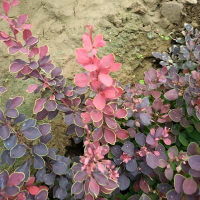 40公分高度红叶小檗产地价格,30公分-50公分红叶小檗报价