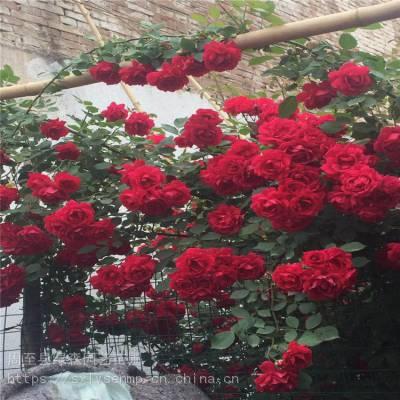 批发月季树苗 陕西大红花玫瑰月季 宝鸡月季现挖包成活