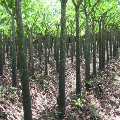魔芋种子价格贵不贵 云南魔芋种子销售 西双版纳珠芽魔芋种子 云南魔芋种植基地富滇魔芋大公司