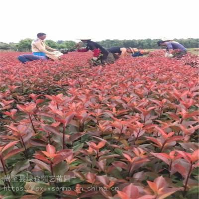 西安红叶石楠、红叶石楠球、园林绿化工程小苗批发
