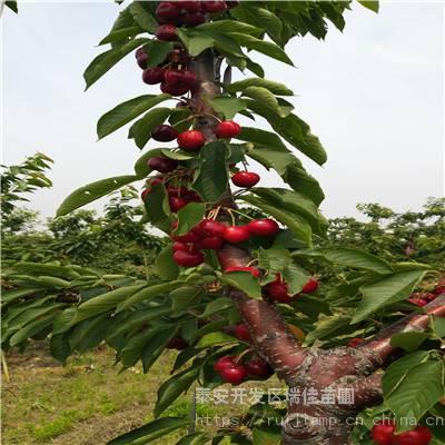 大樱桃樱桃苗哪里便宜大樱桃樱桃苗哪里有卖的