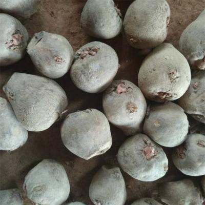 水城魔芋种子 云南魔芋种植效益分析 泸州魔芋种苗