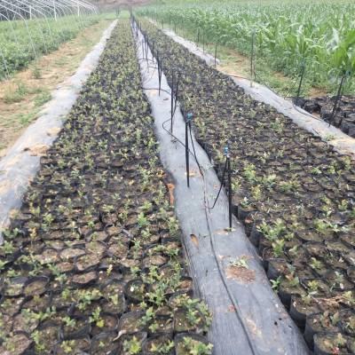 山东50公分高公爵蓝莓苗种植基地
