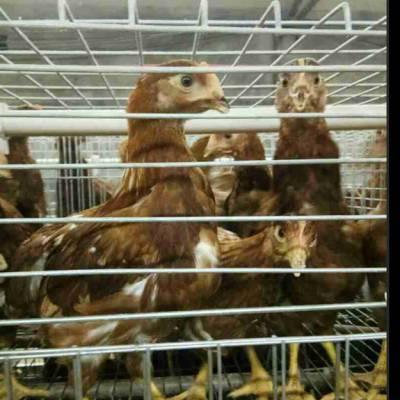 农大3号青年鸡鹤壁厂家 农大3号蛋鸡青年鸡鹤壁报价