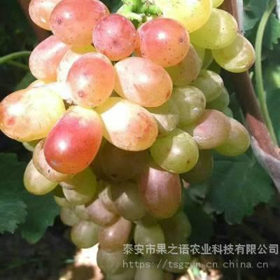 希哈葡萄苗出售、希哈葡萄苗品种