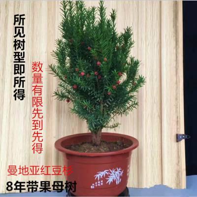 河南省信阳5-6-7-8-9年生曼地亚红豆杉盆景 紫科一号盆景,红豆杉盆景,南北均可种结果红豆杉盆景