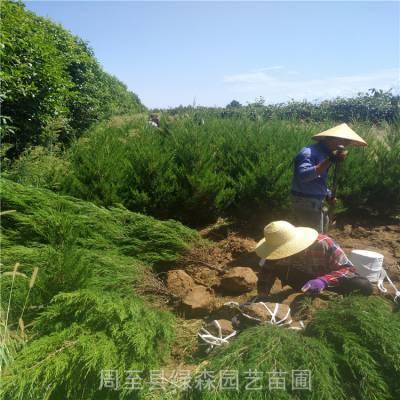 出售塔柏 周至1-4米塔柏树批发 坟园 墓地 护坡绿化树塔柏每棵多少钱