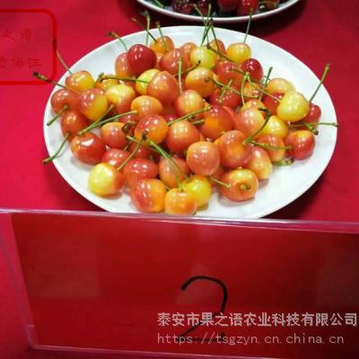 美国一号樱桃苗报价 美国一号樱桃苗品种