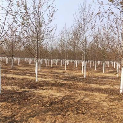3公分银杏树价格-银杏树报价(在线咨询)-攀枝花银杏树价格