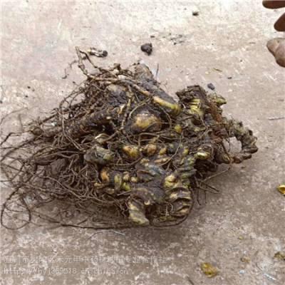 延安延川野三七亩产多少 竹节参农业致富品种 竹节参如何种植