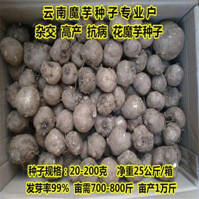 罗甸魔芋种子 魔芋种植技术图片 阳江魔芋种苗