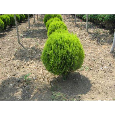 成都多年生灌木洒金柏球 品种优良有售