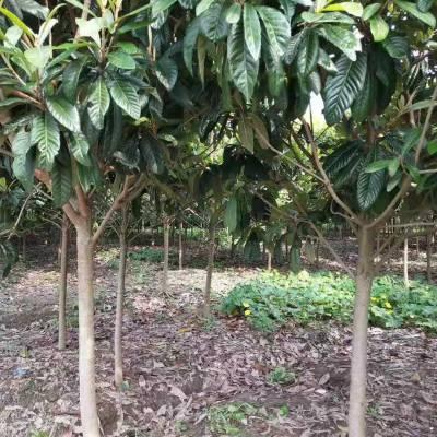 10公分枇杷树价格_10公分枇杷树多少钱_10公分枇杷苗多少钱一棵